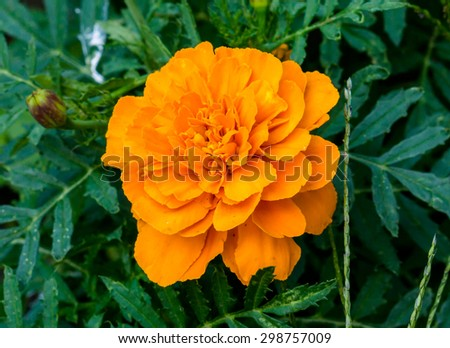Orange flower perennial aster in the garden - stock photo