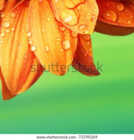 Orange flower petals with water drops on it