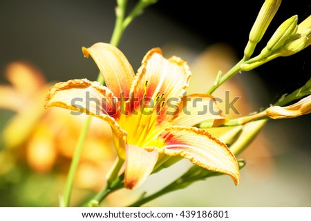 orange flower,spring flowers,garden flowers,flowers spring,orange lily garden,lily on green ,plant,long petals,lily petals,orange petals,yellow petals,wonderful lilies,wonderful flowers,amazing nature - stock photo