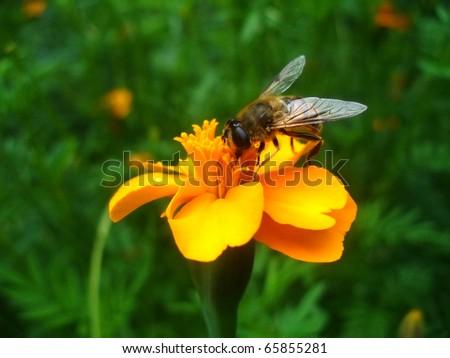 orange flower with bee - stock photo