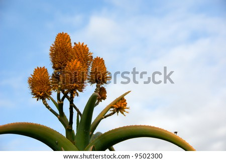 Orange flowered cactus with a number of bee's flying around it. - stock photo