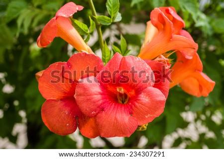 Orange flowering Campsis radicans or trumpet vine - stock photo