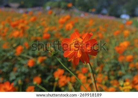 orange flowers blooming in the field in daylight - stock photo