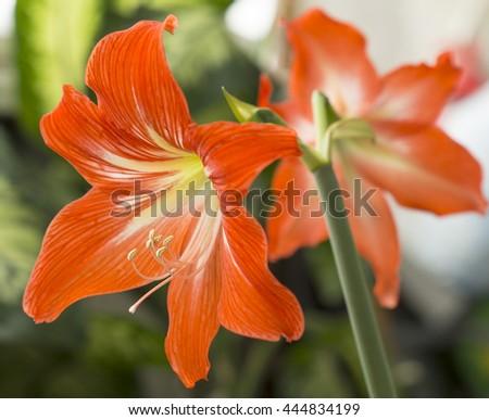 Orange flowers Hippeastrum or Amaryllis in nature home garden background, Amaryllidaceae, blossom flowers Amaryllis or Hippeastrum with fresh mood background - stock photo