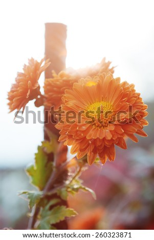 Orange flowers in backlight. Autumn garden. Beautiful colors. Natural background. Blur - stock photo