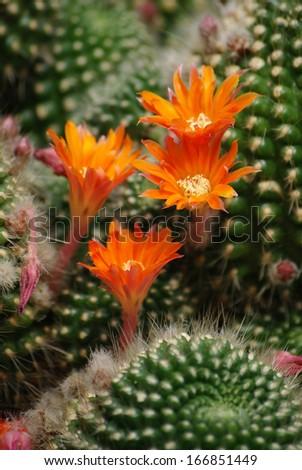 orange flowers of cactus - stock photo