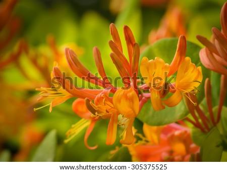 orange flowers of honeysuckle - stock photo