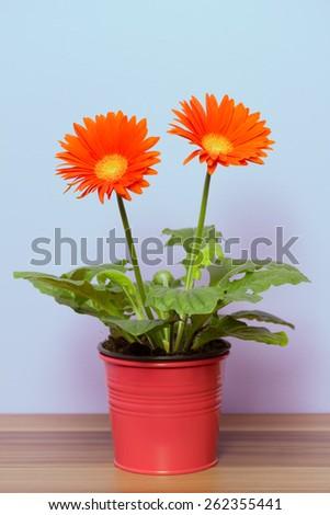 orange flowers planted in flower pot - stock photo