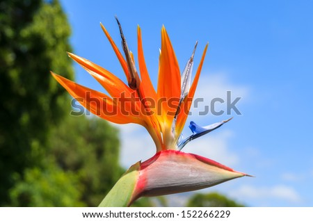 Orange flowers Pride of Madeira in Santa Catarina city park of Funchal, Madeira island, Portugal - stock photo