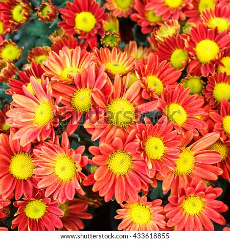 Orange flowers with long thin petals and yellow center. Flowers background. Flowers texture. Flowers in garden. Beautiful flowers. - stock photo
