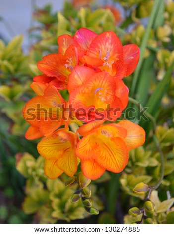Orange Freesia - stock photo