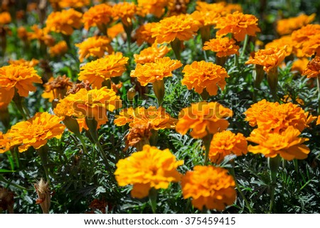 Orange French marigolds on the bed, natural background - stock photo