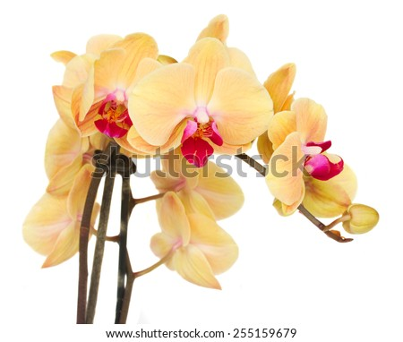 orange fresh  orchid flowers branch close up  isolated on white background - stock photo