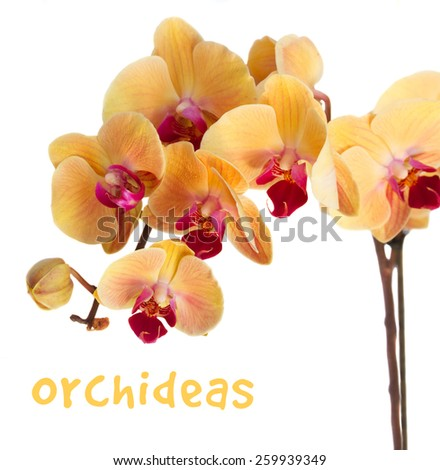 orange fresh  orchid flowers branch  isolated on white  - stock photo