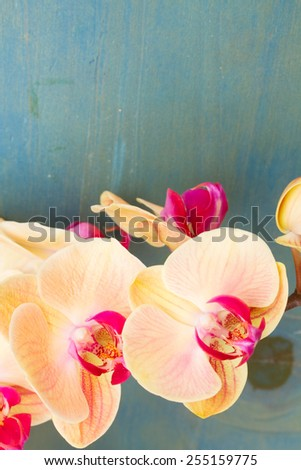 orange fresh  orchid flowers close up   on blue table with copy space - stock photo