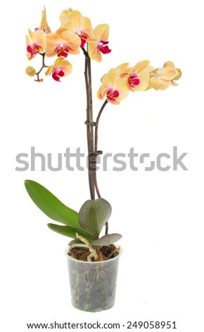 Orange  fresh  orchid with flowers and buds in pot isolated on white background - stock photo
