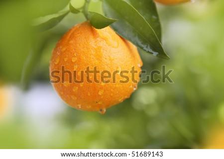 orange fruit hanging  tree fresh water drops - stock photo