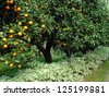 orange fruit tree orchard - stock photo