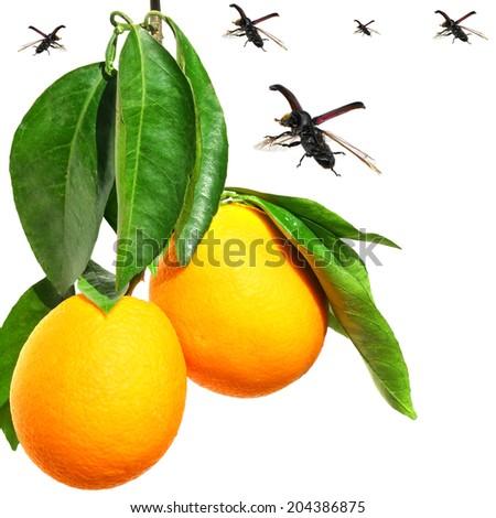 Orange fruits and flying bugs isolated on white background. Pest management concept  - stock photo