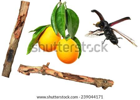 Orange fruits, branches damaged and flying bug wrecker isolated on white background. Pest management concept  - stock photo