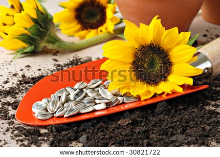 Orange garden spade with sunflower seeds ready to plant.  Clay pots and sunflowers in the background.  Macro with shallow dof.