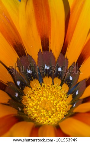 Orange Gazania close-up - stock photo