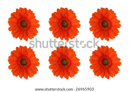 Orange gerber-flowers isolated on white