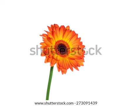 Orange gerber isolated on white background. - stock photo