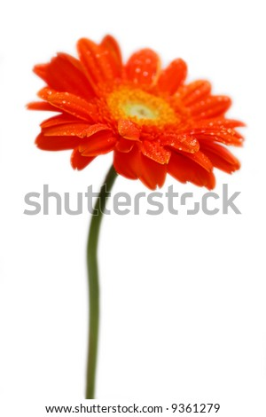 Orange gerber isolated on white background