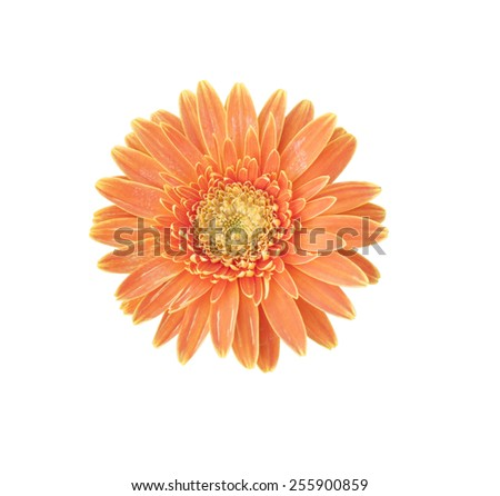 Orange Gerbera bloom Flowers isolated on white background. - stock photo