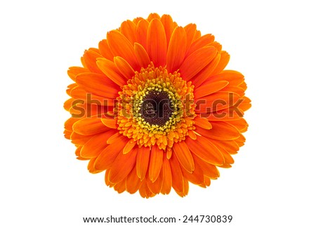 Orange gerbera daisy flower isolated on a white background - stock photo