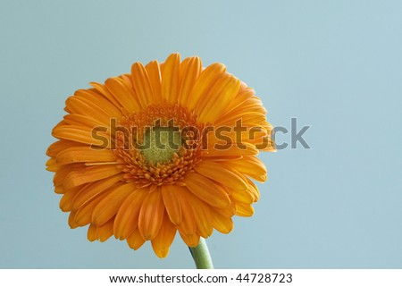 Orange gerbera daisy in blue background. Great colors
