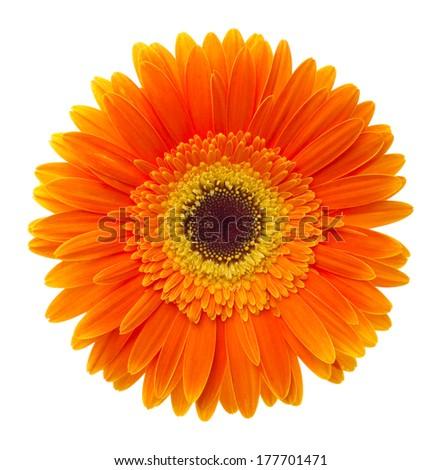 Orange gerbera. Deep focus. No dust. No pollen. Please watch more flower heads in my portfolio.  - stock photo