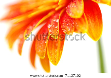 Orange gerbera flower - stock photo
