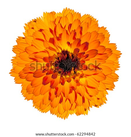 Orange Gerbera Flower in Full Blossom - Beautiful Gerbera aurantiaca Isolated on White Background. Top view - stock photo