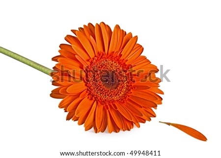 Orange Gerbera Flower isolated, on the white