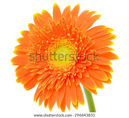 Orange gerbera flower isolated on white - stock photo