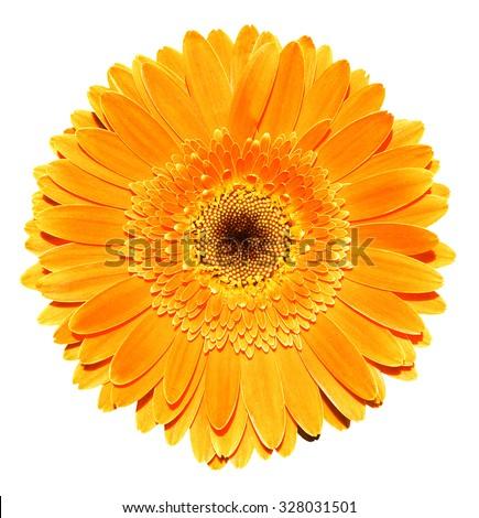 Orange gerbera flower macro photography isolated on white - stock photo