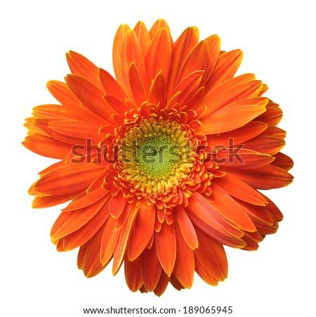 orange gerbera isolated on white background  - stock photo