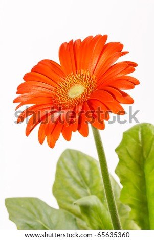 orange gerbers - stock photo