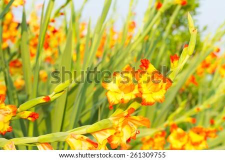 Orange gladiola flower - stock photo