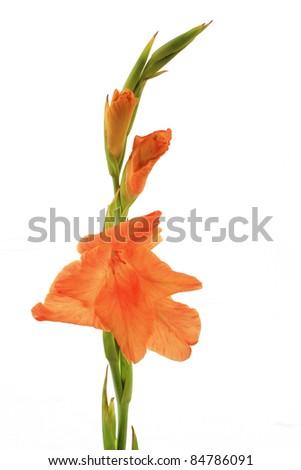 Orange Gladioli - stock photo