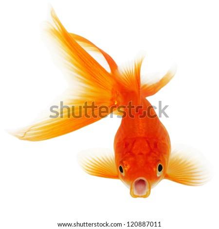 Orange Gold Fish Isolated on White Background Without Shade - stock photo