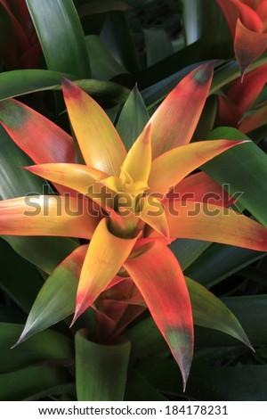 Orange Guzmania Bromeliad Beautifully Lit - stock photo