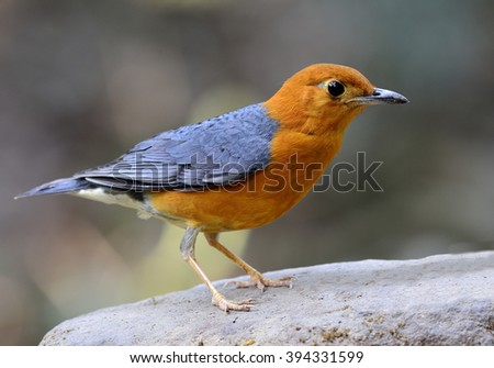 Orange-headed thrush (Geokichla citrina) the beautiful orange and grey wings bird perching on top of the bright rock