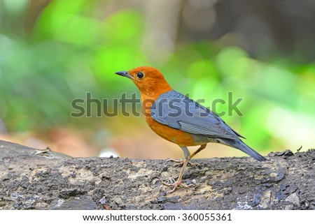 Orange-headed Thrush (Geokichla citrina) the beautiful orange and yellow bird with grey wings standing on the rock showing its full body length