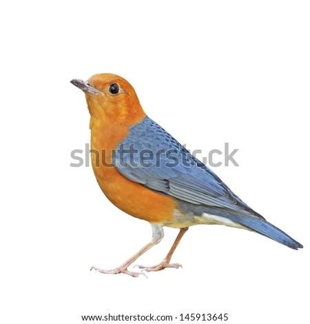 Orange-headed Thrush on a white background - stock photo