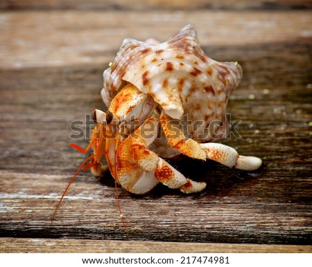 Orange Hermit Crab in His Shell isolated on Plank Wooden background Outdoors - stock photo