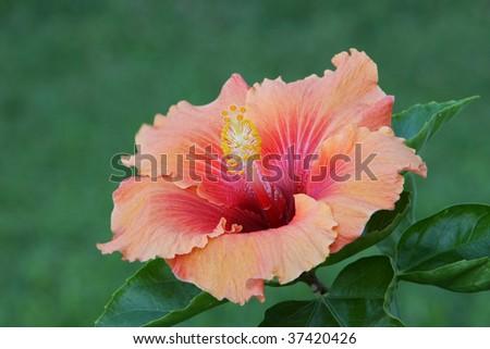 Orange hibiscus close up - stock photo