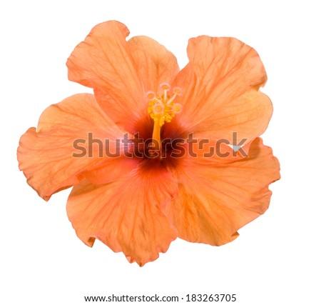 Orange hibiscus. Deep focus. No dust. No pollen. - stock photo